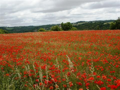 Poppy fields on guided walking holiday Tarn Aveyron France