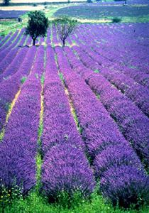Lavender Ferrassieres Baronnies Provence guided walking holiday