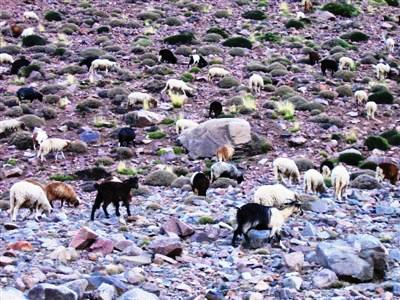 goats grazing in High Atlas mountains