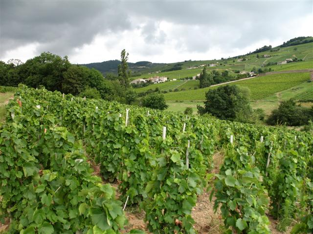 Vines of Beaujolais France