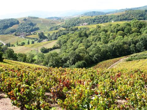 vines in French landscape on self guided walking holiday