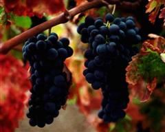 beaujolais gamay grapes french wines and walking holidays
