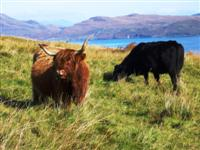 highland cattle scotland walking holiday