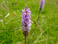 orchids on dolebury warren
