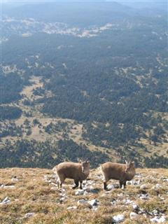 chamois vercors walking alpine trip