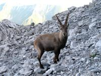 ibex fauna wildlife alps france