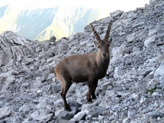 alpine ibex in southern alps independent walking holiday